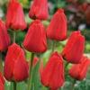 Single Tulip Apeldoorn