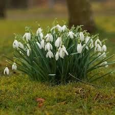 Galanthus Nivalis Snowdrops