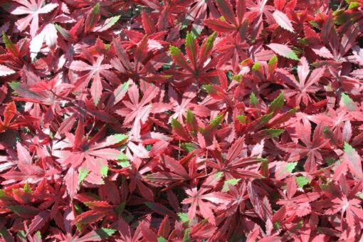 Red Acer Wall Panel